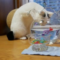 猫のるんたん金魚鉢でお魚ロボット鑑賞🐟😸