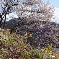 桜と継子落とし 2020
