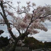 桜満開。燕も帰ってきました。