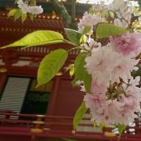 塩竈桜はまだまだ楽しめます。