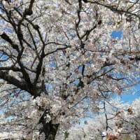 ◆今年最後の桜!!◆