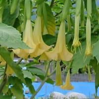 また、キダチチョウセンアサガオが咲いていた!