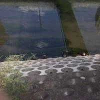 平野川の鴨 まだ居た