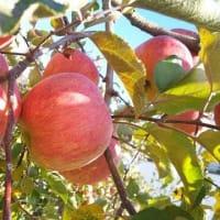 りんごの季節になりました