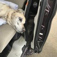ブラオイラ#381(秋を探しておじい犬とドライブ編)