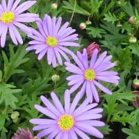 ブラキカム・ブラスコの花は