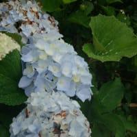 屋久島の梅雨景色 ~お花~