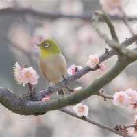 梅が満開&ウメジロー:岡山後楽園