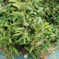 マイナポイント 国民の理解がなくては/タマスダレ、シモバシラ、芳香ウラシソの花
