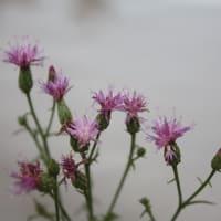 「おはようの花」  ホソバタムラソウ(細葉田村草)