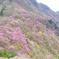 アケボノ咲く西赤石山10