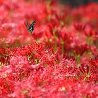 彼岸花は葉見ず花見ずの花