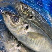 小田原の代表的な魚「あじ」海鮮丼屋 海舟本店