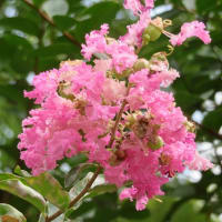 楽書き雑記「夏の3カ月余を咲き続けるサルスベリ(百日紅)」