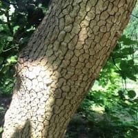 マルバチシャノキ、花と樹皮