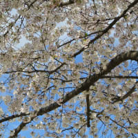 2020年 春 桜散歩