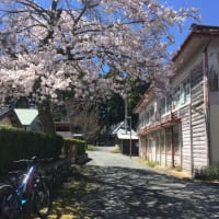 作手高原 桜が見頃です!