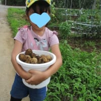 恒例、ジャガイモ掘り