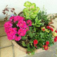 寄せ植え鉢-Fのノースポール剪定、寄せ植え鉢-H他に挿す