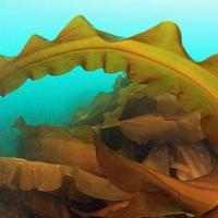 昆布は海中でなぜダシが出ないのでしょうか?