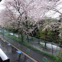満開の桜に雪