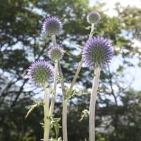 「おはようの花」   ヒゴタイ(平江帯)  8月