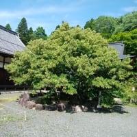 百済寺の菩提樹