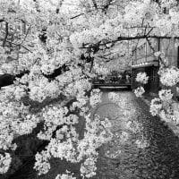 春の高瀬川 (5)