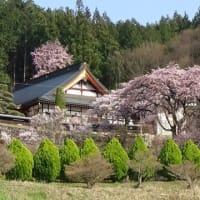 今年も桜が咲きました。(2)