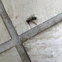 蜂に刺される(;^ω^)