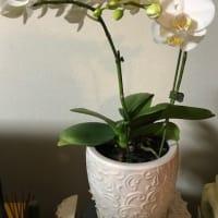 今年もミニ胡蝶蘭咲きました。