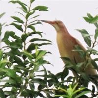 北印旛沼 ヨシゴイなど飛来