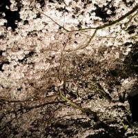 夜桜(人吉芳野旅館)