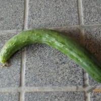 今日の収穫 トマト キュウリ シロウリ ナス カボチャ ナス ピーマン オクラ インゲン