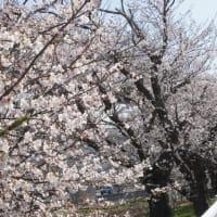 天気があまりにも良いので・・・近所の「菊知坂」の桜を見にきました。新幹線の開業で随分伐採されましたが、今では立派な桜の名所になっています。