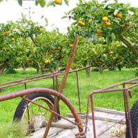 玉城町の柿
