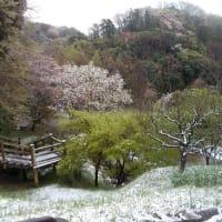 3月末の鎌倉:桜と雪の鎌倉中央公園