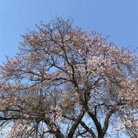 11回目の桜。