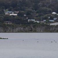 ぷかぷかとペリカンさんたちが浮かぶ海 〜Lions Lookout(西オーストラリアのデンマーク)にて
