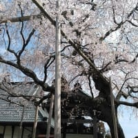 荘厳寺の枝垂れ桜も満開を迎える