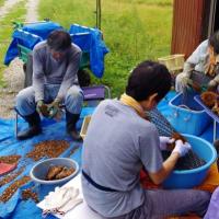 福島ひまわりプロジェクト~京都亀岡で収穫のお手伝いをしました~