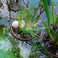 池にカエルが卵を生みました・これもビオトープの役めか?