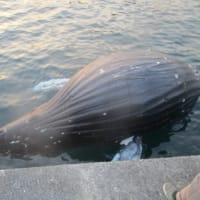 あの「イカ釣り公園」にクジラの死骸が!