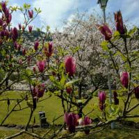 冠嶽神社周辺の桜満開