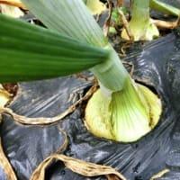 菜園日記 Vol.500 5月 6日 「ソラマメの収穫」Finale