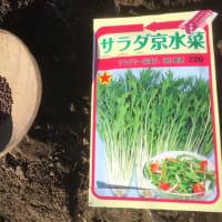 水菜を播種しました!(遅っww)