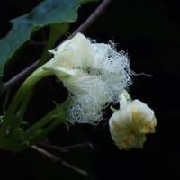 山すそ回りの散歩道で見た花(クズ、アキカラマツ、キツネノマゴ、カラスウリ、エノコログサ、クサギに蝶)