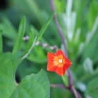 散歩道にも夏の野花が!・・・ネジバナ マルバルコウソウ