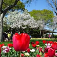 「チューリップ・ガーデン②」昭和記念公園(2019春)