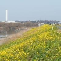 堤防の菜の花